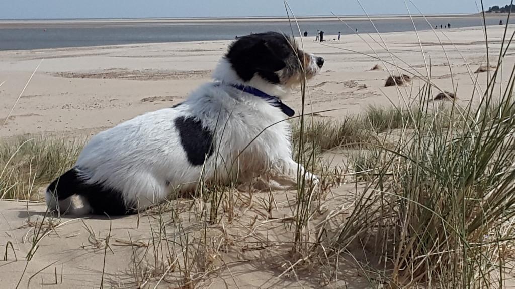 A dog enjoying a Norfolk beach