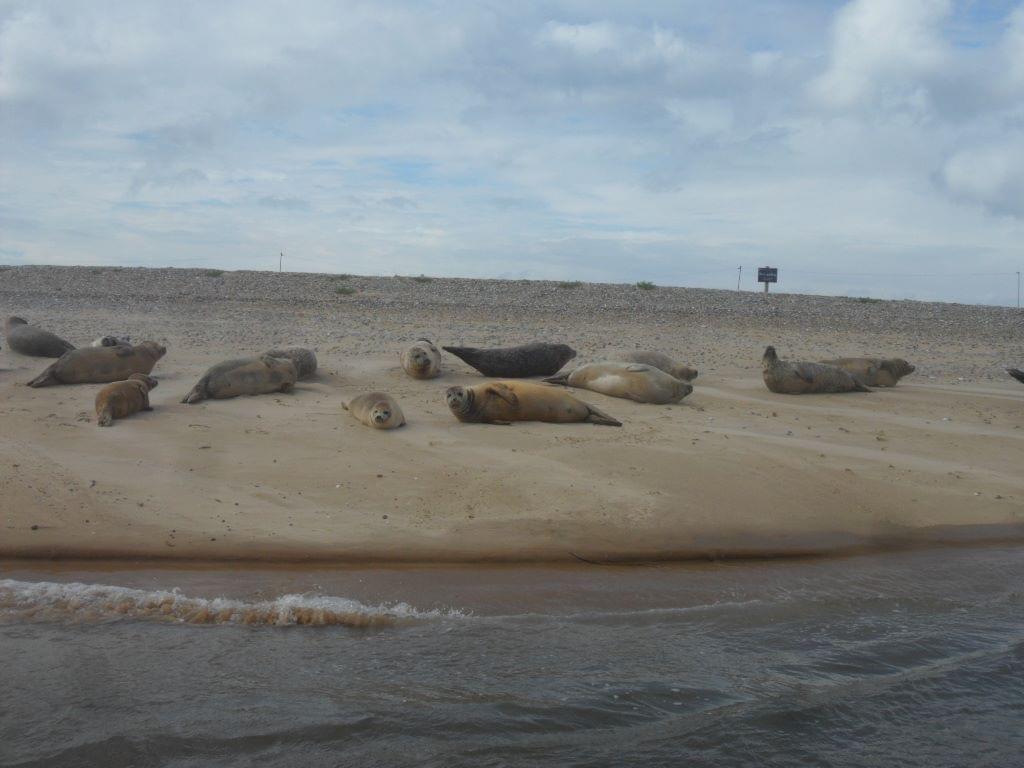 Baby seals at Blakeney Point, Norfolk