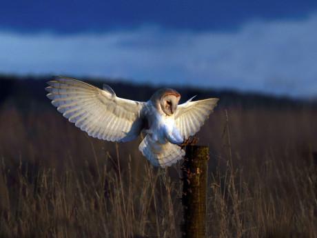 Rey owl 3