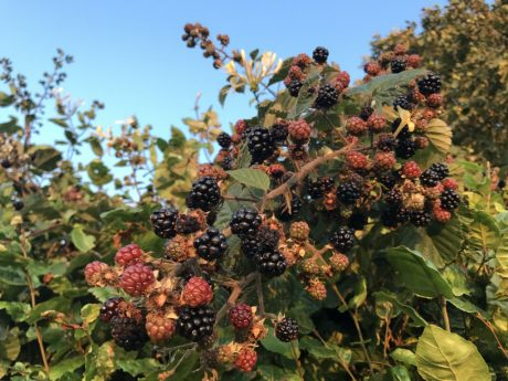 The hedgerows are alive with the sound of blackberries and the smell of honeysuckle!!!!